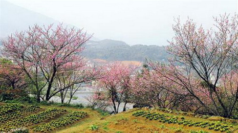 Cherry blossoms in Sa Pa
