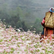 Flowering seasons across Vietnam tempting for backpackers, tourists