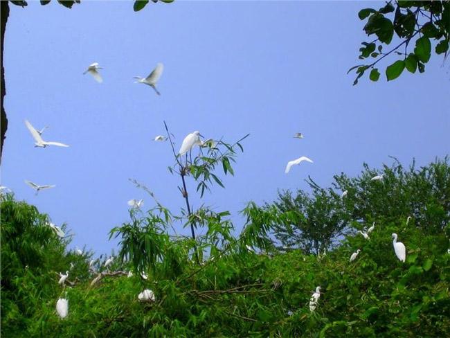 flock-of-storks-in-bang-lang-sanctuary-649