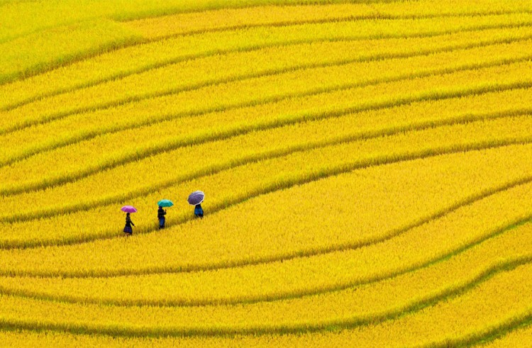 Rice in Vietnam